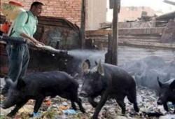 وفاة 18 شخصا بإنفلونزا الخنازير وإصابة 133 في أقل من شهر
